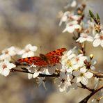 Frühlingsschmetterling