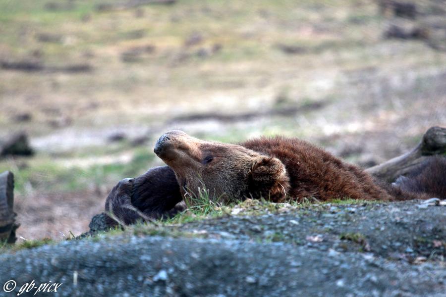 ... Frühlingssonne genießen. Braunbär (Ursus arctos)