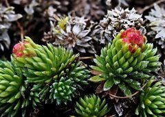 Frühlingssteinbrech (Saxifraga fernandi coburgi)
