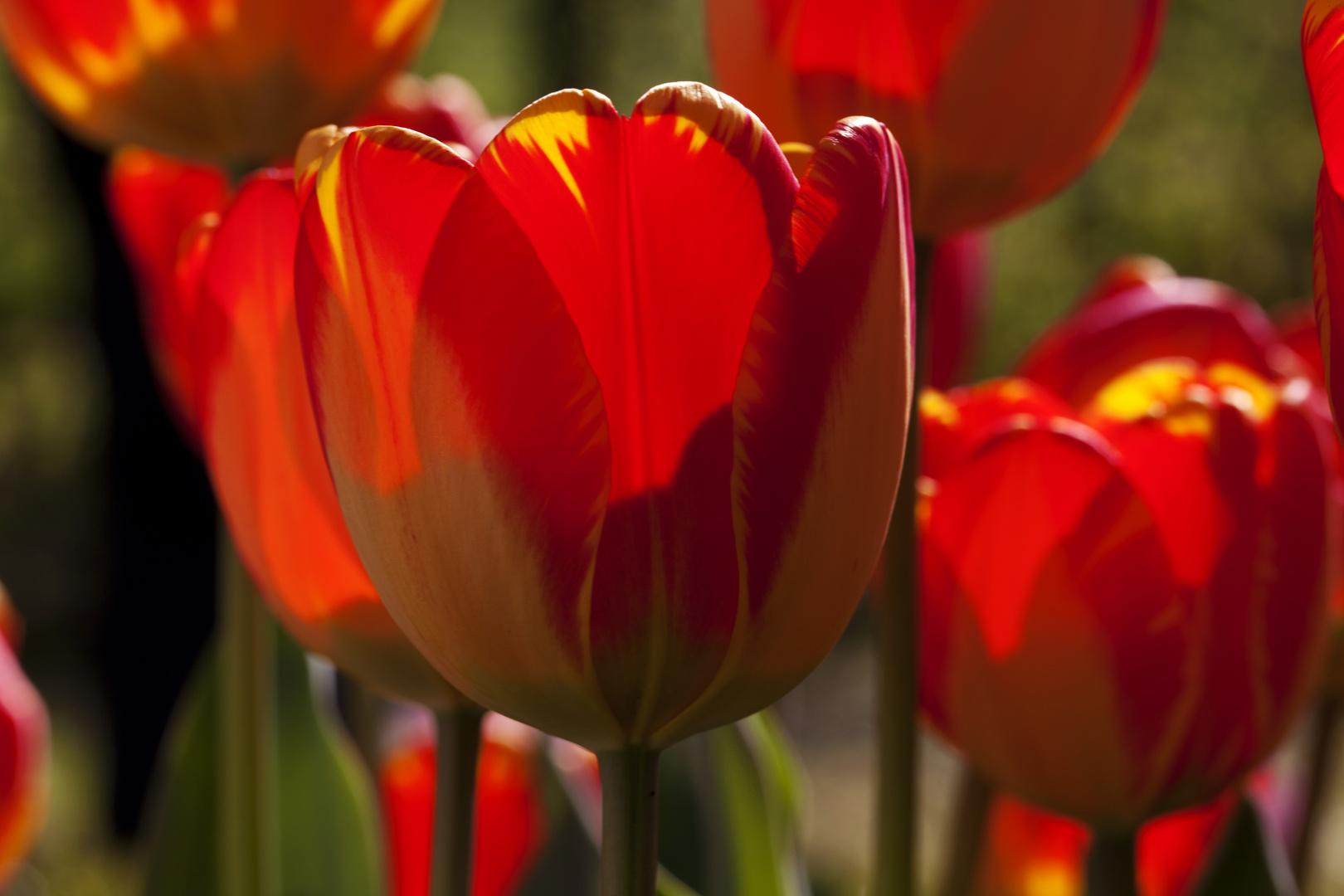 Frühlingstulpen