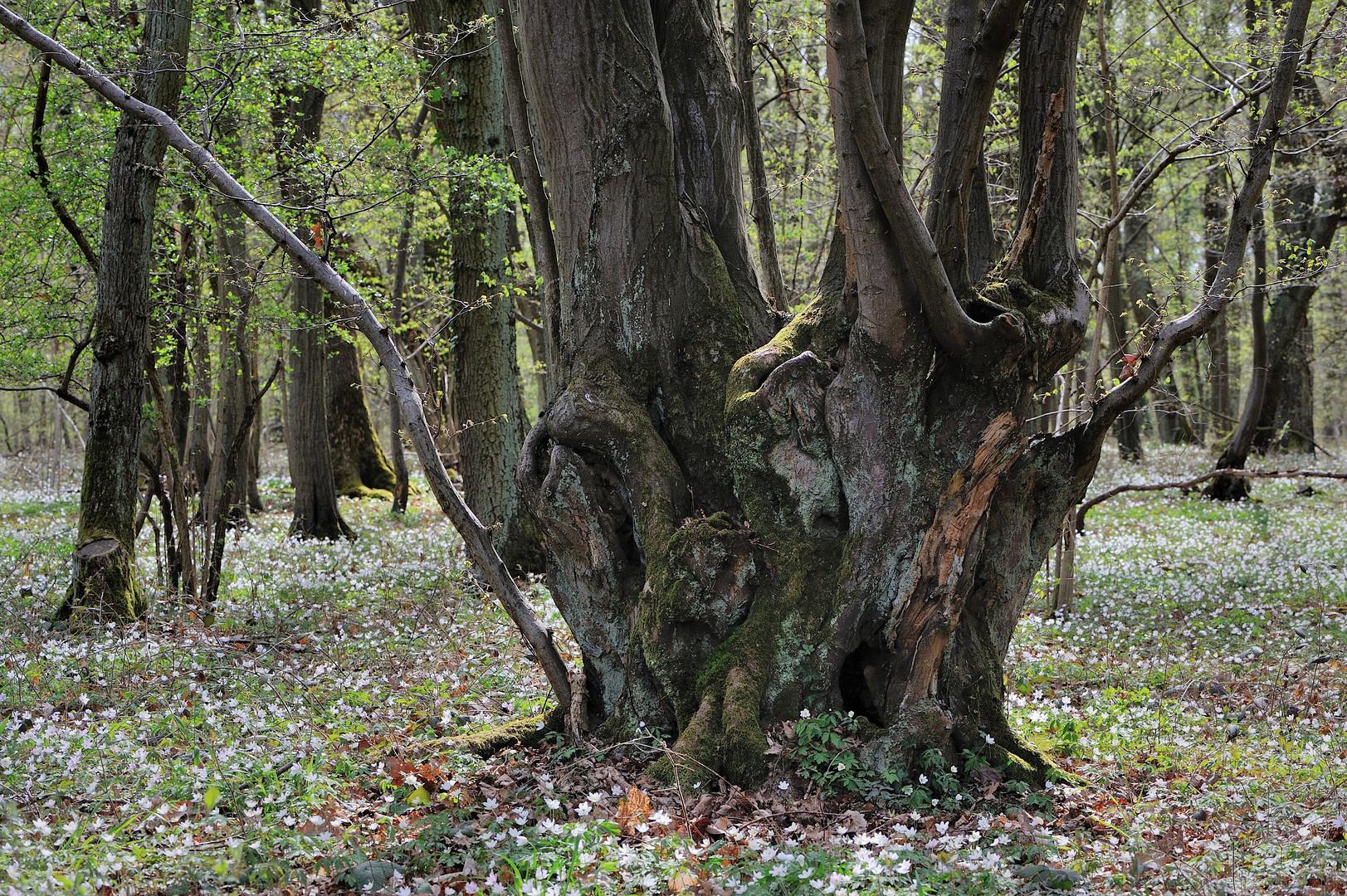 *Frühlingswald*
