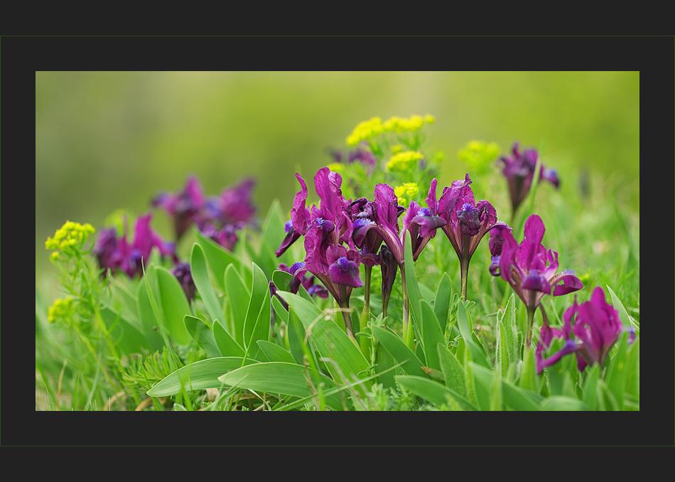 Frühlingswiese IV
