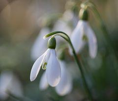 Frühlingszauber .. trotz Schnee und Wintergrau