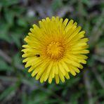 Frühlinsblume mit Besucher