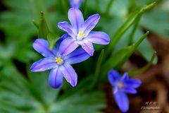 Frühllingsblumen