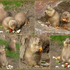 Frühstück bei den Präriehunden im Zoo Dresden