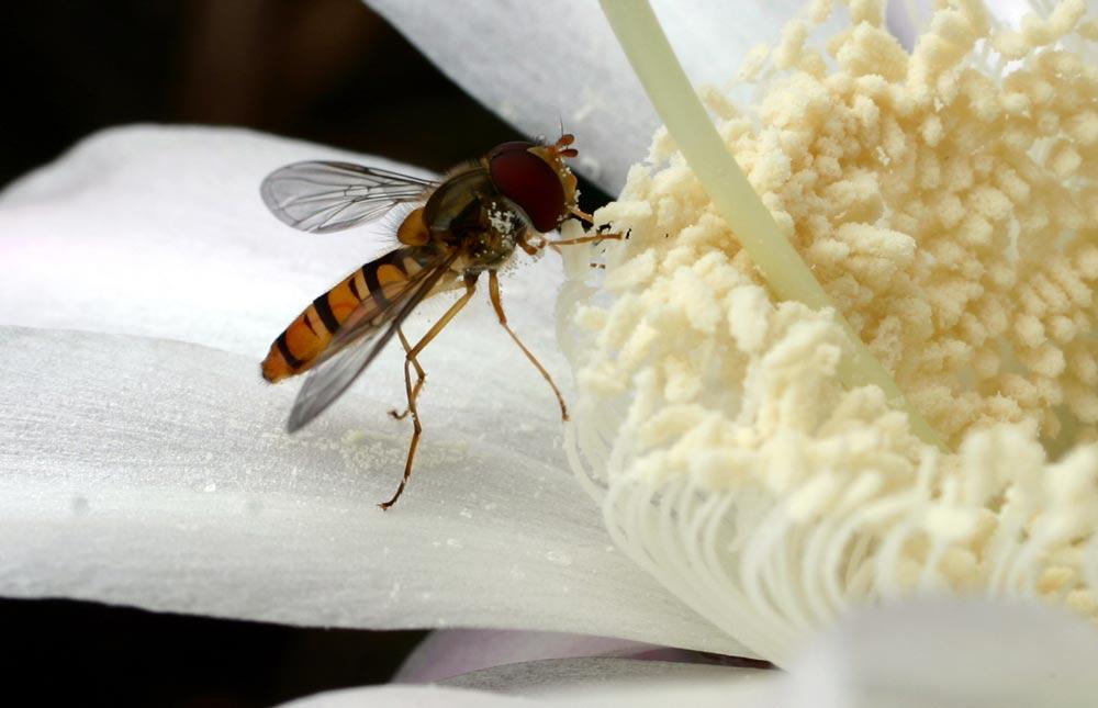 Frühstück einer Schwebfliege 2