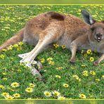 Frühstück mit Känguru