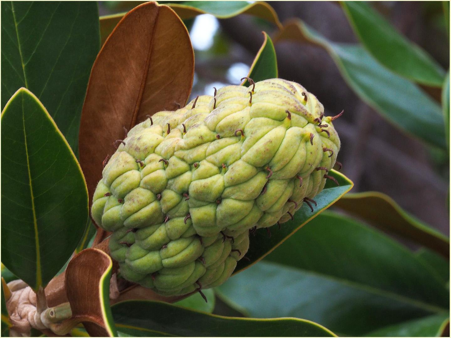 Fruit du magnolia à grandes fleurs