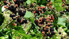 Fruits de Fin d'Eté  -  Sommerend früchte