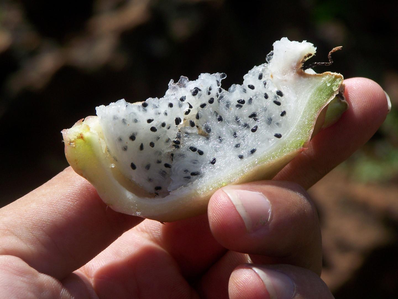 Fruta de cactus