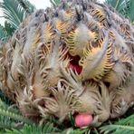 Fruto semilla de Cyca Revoluta , Sagu , falsa palmera , ojo Toxico !