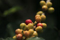 Frutos de café sin aroma de café