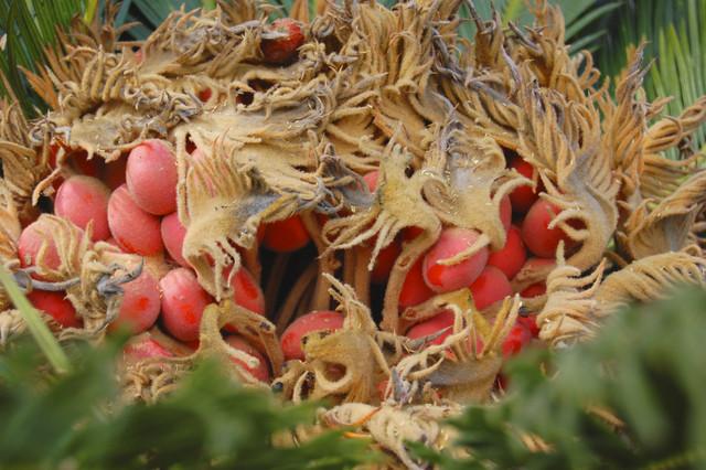 Frutos de Palmera