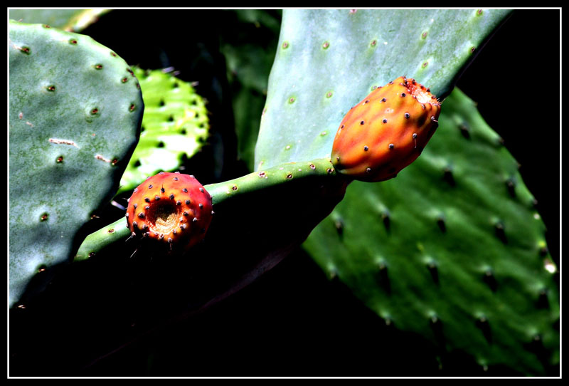 Frutti coronati di spine