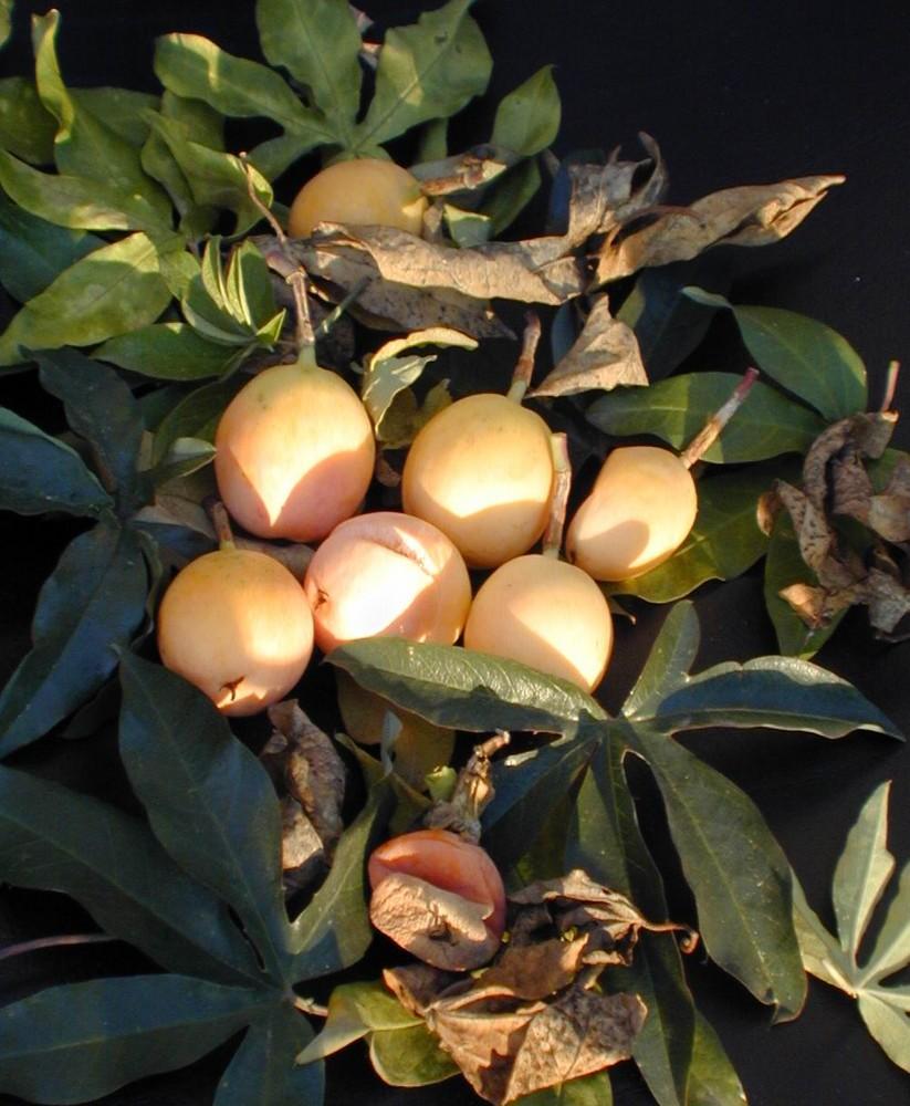 frutti di Passiflora
