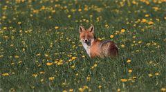 Fuchs am Morgen