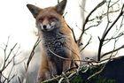 Fuchs auf der Lauer