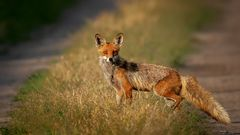 Fuchs auf Streifzug