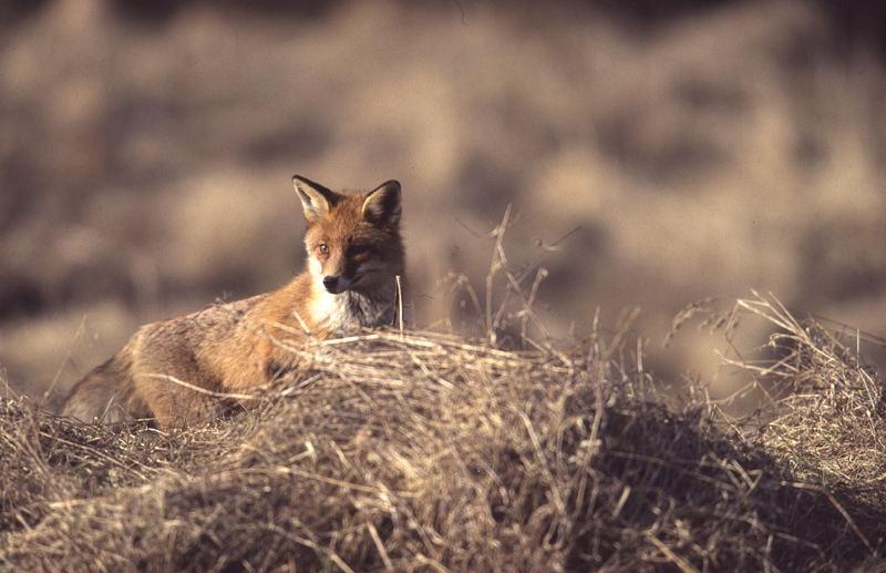 Fuchs aus Ansitz