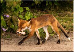 Fuchs bei Beutefang erwischt