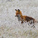 Fuchs bei der Mäusejagd.....