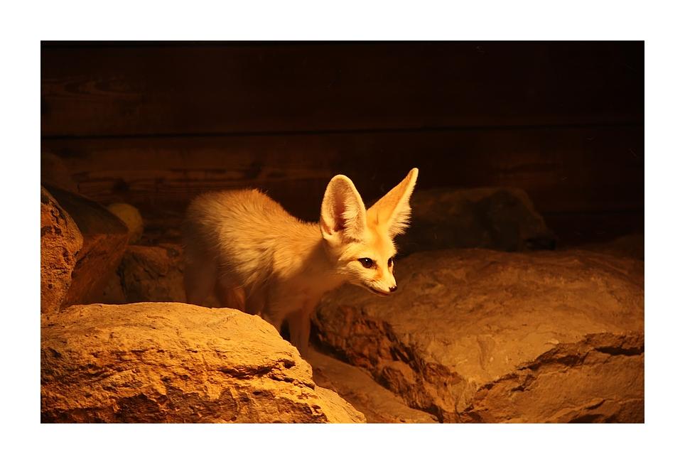 ...Fuchs der Wüste :-)...