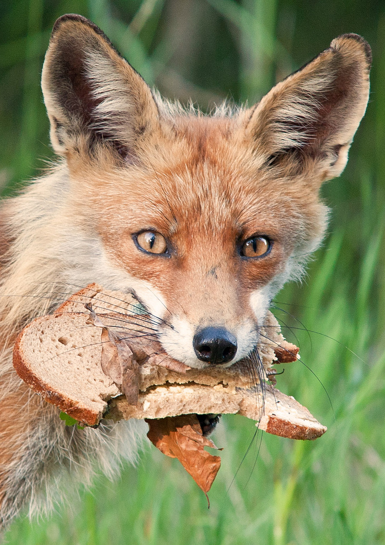 Fuchs, Du hast das Brot gestohlen