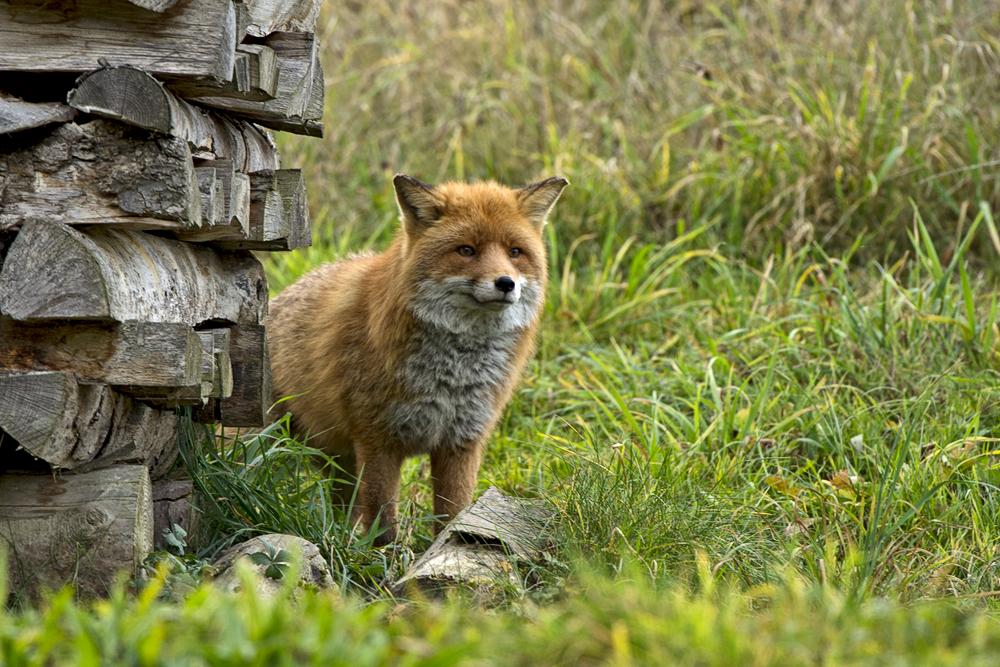 Fuchs du hast die.......