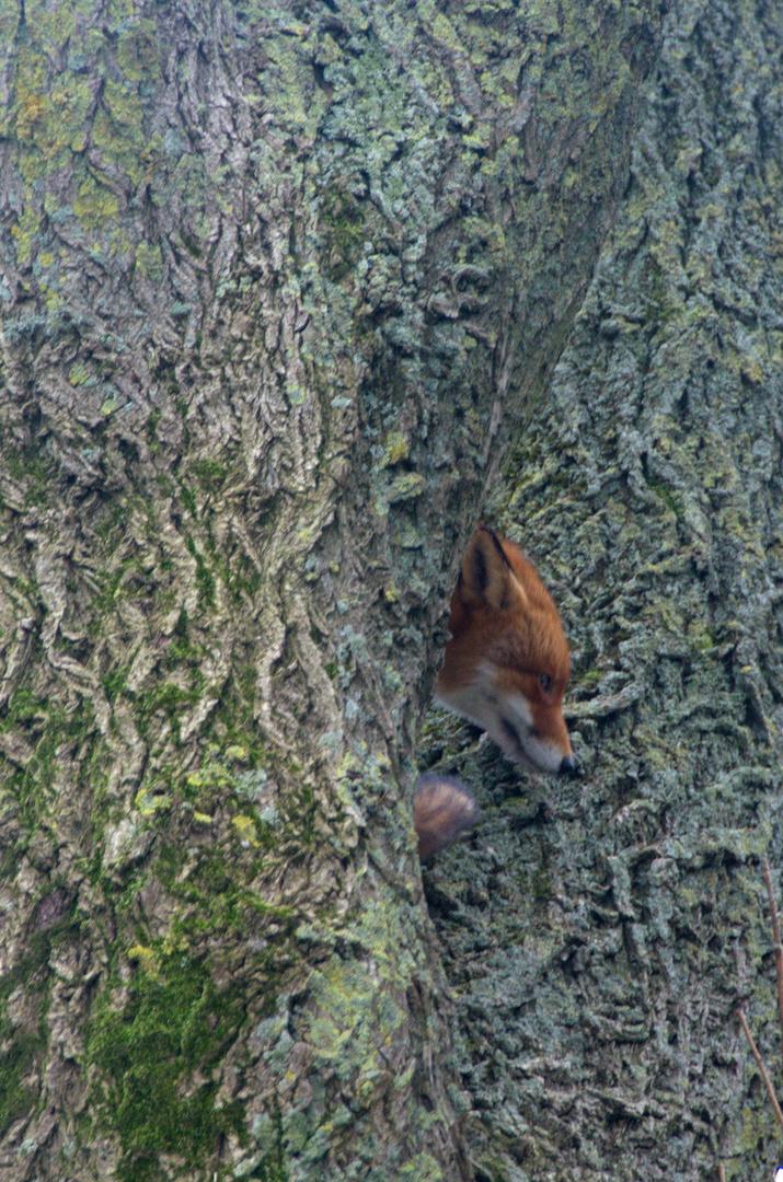 Fuchs im Baum