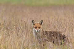 Fuchs im Gras