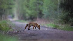 Fuchs im letzten Licht