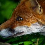 Fuchs im Park 2