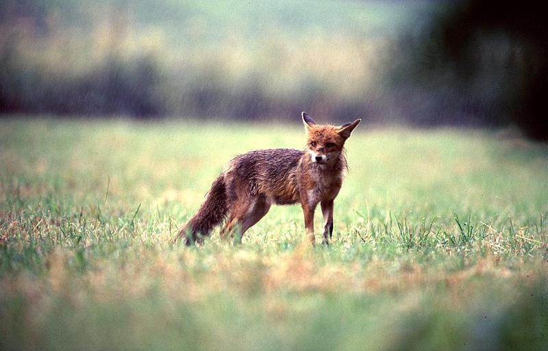 Fuchs im Regen