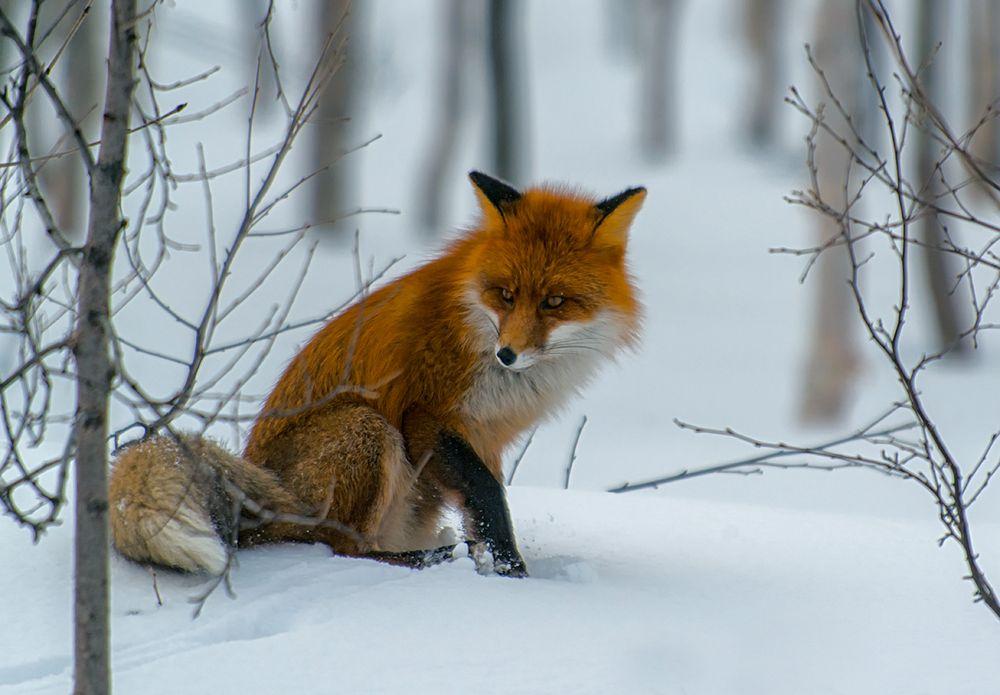 fuchs im schnee #1