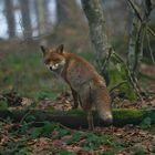 Fuchs im Schwarzwald