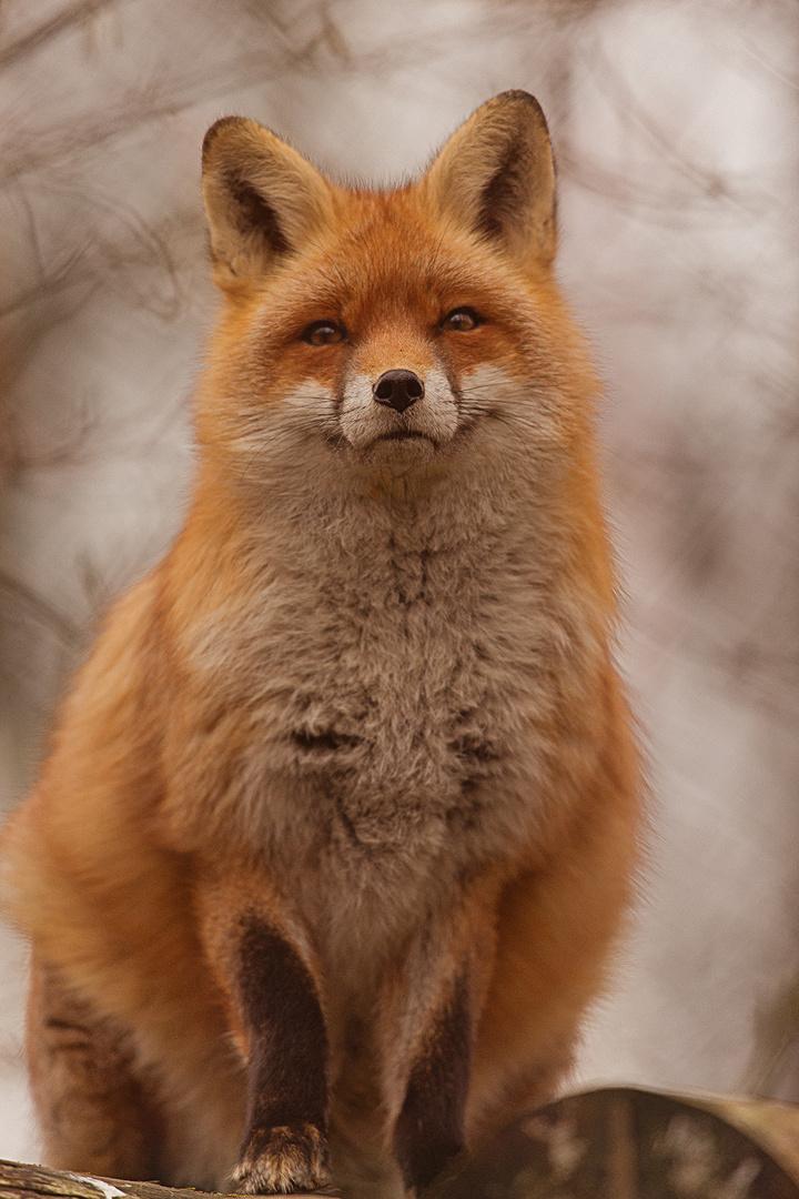 Fuchs im Tierpark Goldau