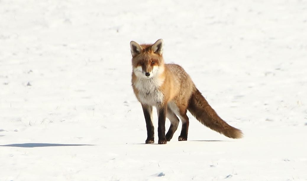 Fuchs Im Winter Foto Bild Tiere Wildlife Natur Bilder Auf