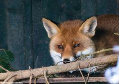 Fuchs im Wisentgehege