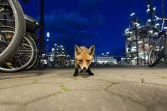 Fuchs in der Raffinerie