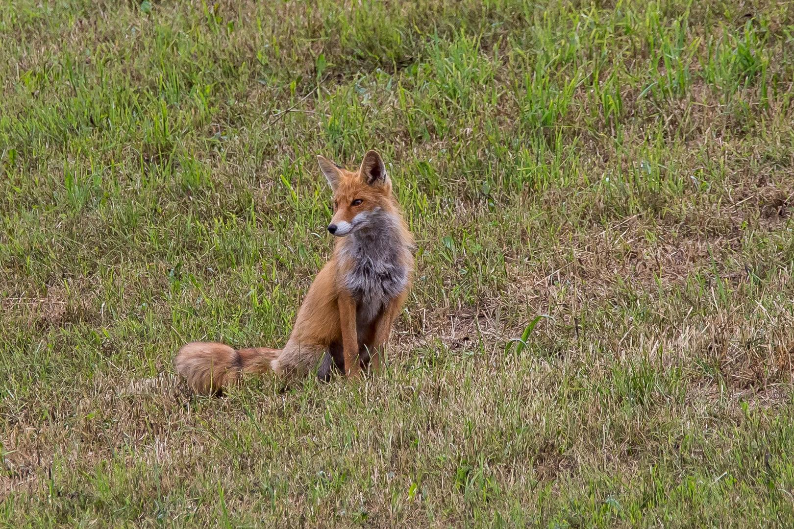 Fuchs in Pose