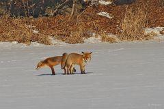 Fuchs-Liebe