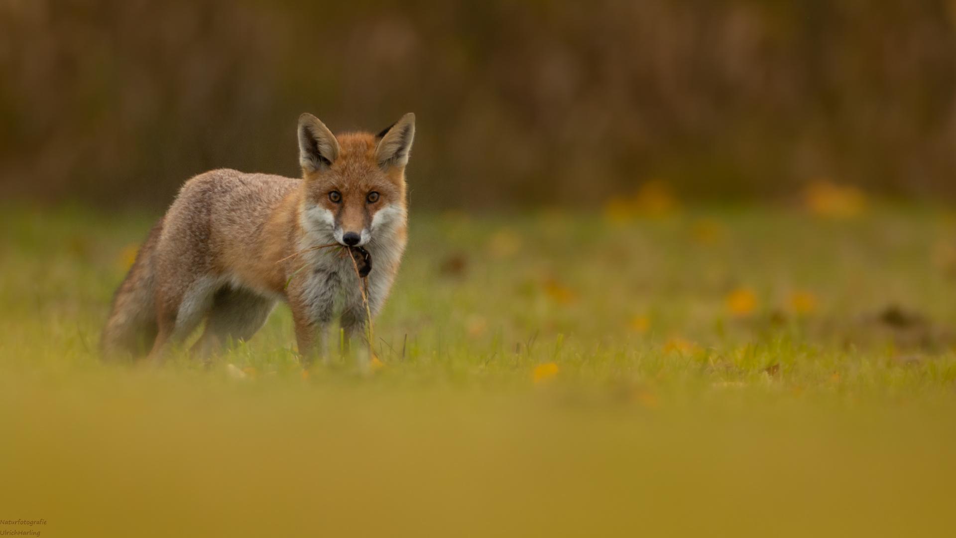 Fuchs mit Beute (1 von 1)