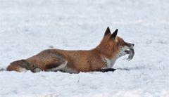 Fuchs mit Maus