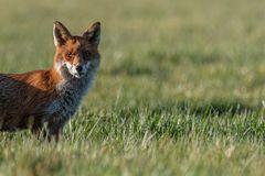 Fuchs mit Maus im Fang-3259