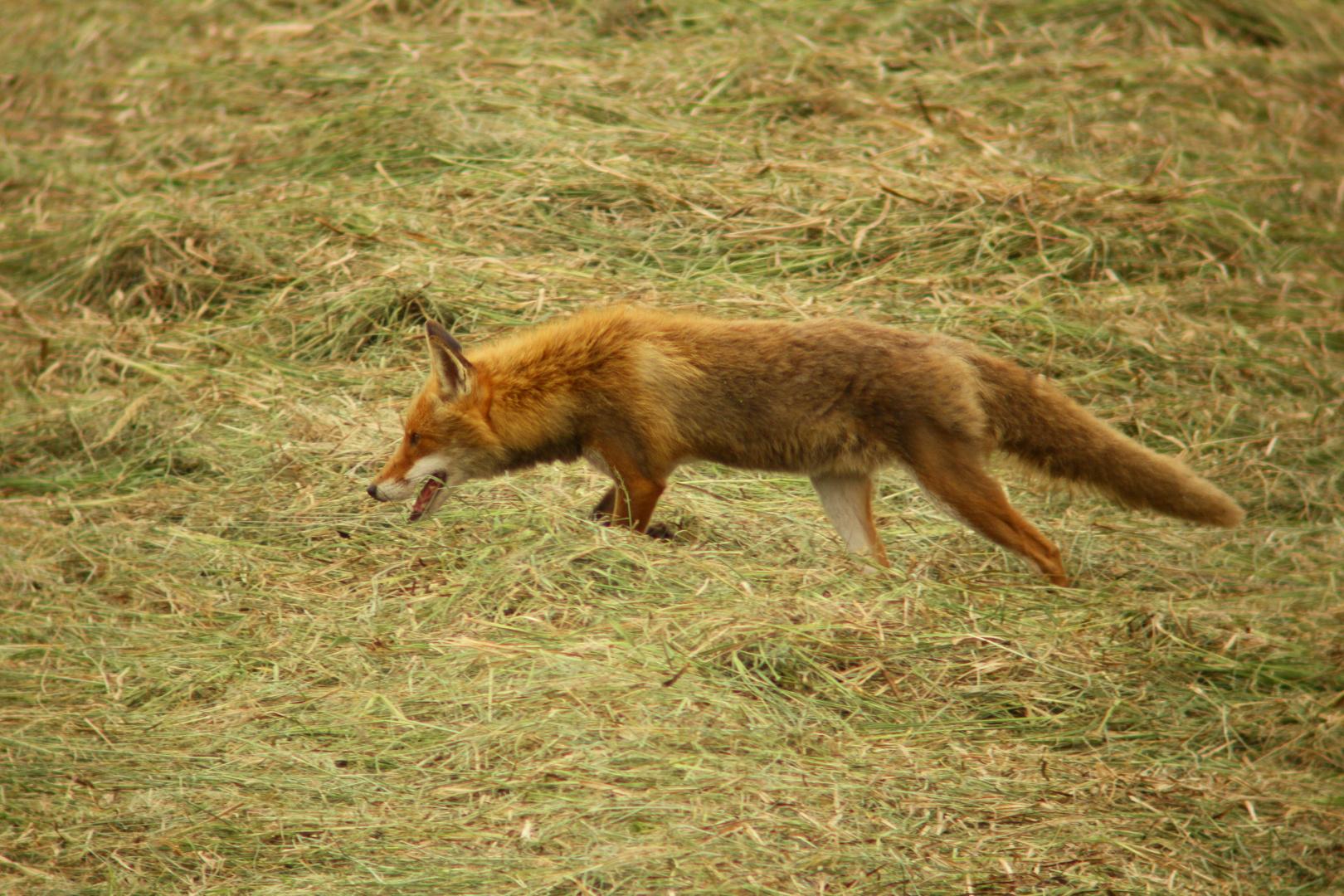 Fuchs Rüde