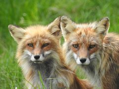 Fuchs und Füchsin