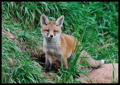 - Fuchs Welpe 1 vor seinem Bau -