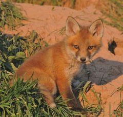 - Fuchs Welpe 2 im Abendlicht am Bau -
