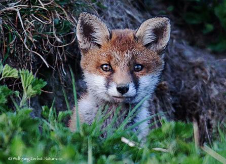 -- Fuchs Welpe --